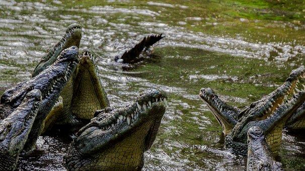 crocodile-2697279__340