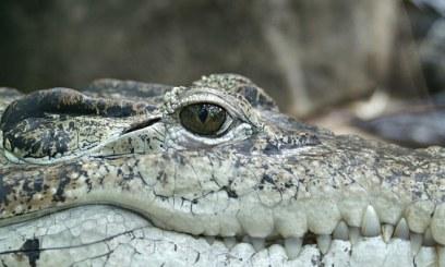 crocodile-66886__340